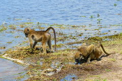Chackma baboon at riverside Chobe Stock Photo