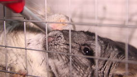 Drinking chinchillas. Two grey chinchillas drink a water stock video