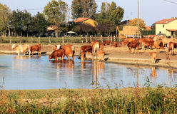 Drinking cows along Comacchio Lake, Italy. The Valli di Comacchio, meaning fish basins of Comacchio, are a series of contiguous brackish lagoons situated to the Stock Images