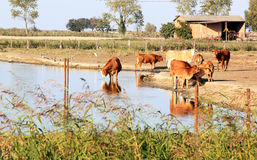 Drinking cows along Italian Comacchio Lake. The Valli di Comacchio, meaning fish basins of Comacchio, are a series of contiguous brackish lagoons situated to the Royalty Free Stock Image