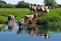Drinking cows. Cows are free walking in the meadow and they drink from a river Stock Images