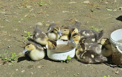 Drinking ducklings 2 Stock Photography