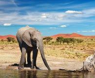 Free Drinking Elephant Stock Photos - 16696143
