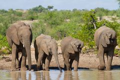 Drinking elephant. Four African Elephants drinking at a natural pond Stock Photos