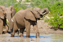 Drinking elephant. An african elephant drinking at a waterhole Stock Image