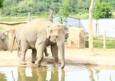Drinking elephant Royalty Free Stock Image
