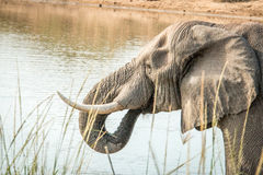 Drinking Elephant in the Kruger National Park, South Africa. Stock Image