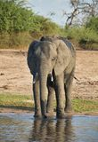 Drinking elephant Loxodonta africana,  in Chobe National Park, Botswana Royalty Free Stock Images