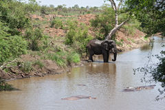 Drinking elephant at a waterhole in the Kruger National Park, South Africa Royalty Free Stock Images