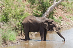 Drinking elephant at a waterhole in the Kruger National Park, South Africa Royalty Free Stock Photos