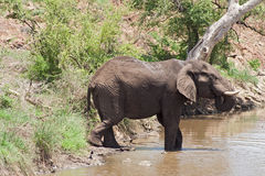 Drinking elephant at a waterhole in the Kruger National Park, South Africa Stock Photo