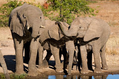 Drinking elephants. A small herd of African elephants drinking at a waterhole in Botswana Royalty Free Stock Photography