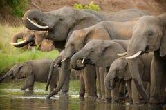 Drinking elephants. A herd of african elephants drinking at a waterhole in botswana Royalty Free Stock Photos