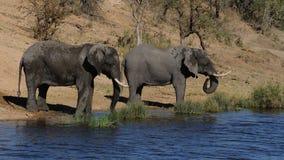 Drinking Elephants Royalty Free Stock Images