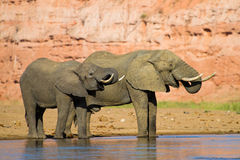 Drinking elephants Royalty Free Stock Image