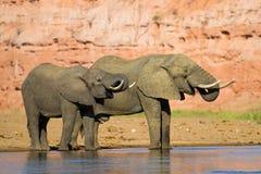 Drinking Elephants Royalty Free Stock Image