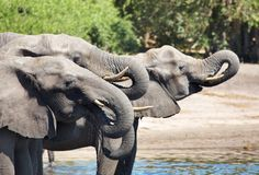 Drinking elephants Stock Images