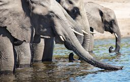 Drinking elephants Stock Photos