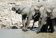 Drinking elephants in the Etosha National Park, Namibia Stock Photography
