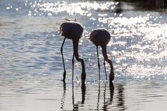 Drinking flamingos Royalty Free Stock Photos