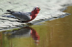 Drinking Galah Royalty Free Stock Photos