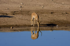 A drinking gazelle Royalty Free Stock Images