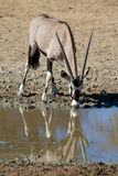 Drinking gemsbok Stock Photography