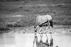 Drinking Gemsbok in black and white. Stock Photo