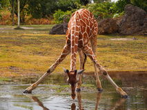 Drinking giraffe Stock Photos