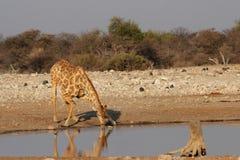 Drinking Giraffe Stock Photos