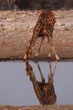 Drinking Giraffe Stock Image