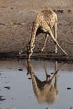 Drinking Giraffe Royalty Free Stock Images