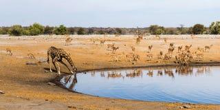 Drinking giraffe and black faced impala herd at waterhole Royalty Free Stock Photos