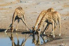 Drinking giraffe (Giraffa camelopardalis). In the Etosha National Park, Namibia Royalty Free Stock Photos