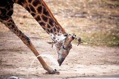 Drinking Giraffe (Giraffa camelopardalis). Giraffe (Giraffa camelopardalis) in the bush-veld of the Kalahari Desert (South Africa Stock Photography