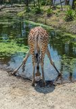 Drinking giraffe. Rear view of giraffe at waterhole royalty free stock images