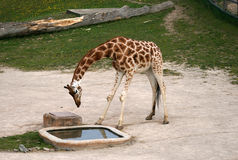 Drinking Giraffe in a Zoo. Near water place Royalty Free Stock Photos