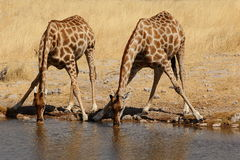 Drinking giraffes Stock Photo
