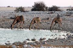 Drinking giraffes at the waterhole - Namibia Africa royalty free stock image