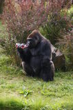 Drinking gorilla. Gorilla is drinking from plastic bottle in zoo Stock Image