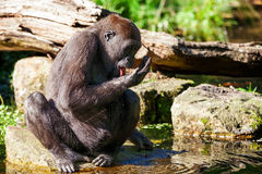 The drinking gorilla Stock Photography