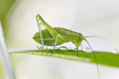 Drinking grasshopper. Royalty Free Stock Image