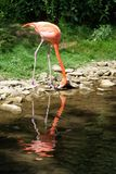 Drinking greater flamingo. Grater flamingo along the creek with green background Royalty Free Stock Image