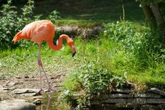 Drinking greater flamingo. Grater flamingo along the creek with green background Royalty Free Stock Photography