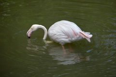 Drinking greater flamingo Stock Images