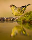 Drinking greenfinch Stock Photo