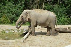 Drinking grey elephant Stock Photos