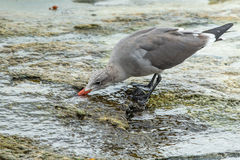 Drinking Gull Stock Images