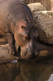 Drinking Hippo. A hippo drinks water royalty free stock photography