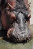 Drinking hippo. Hippo takes a sip of water royalty free stock photography